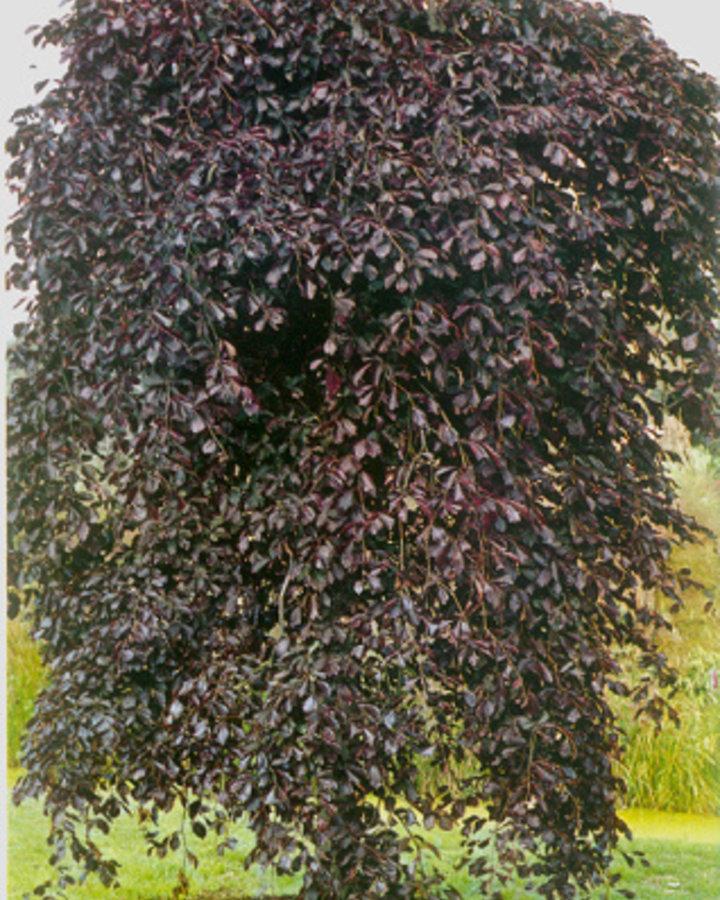 Fagus syl. 'Purpurea Pendula' / Rode treurbeuk