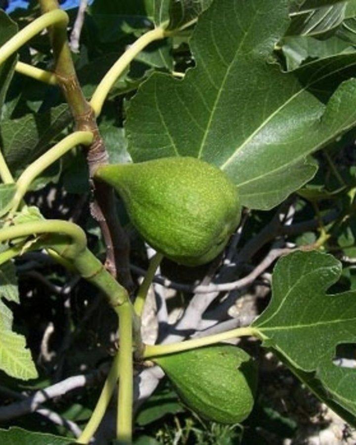 Ficus carica | Vijgenboom | Container