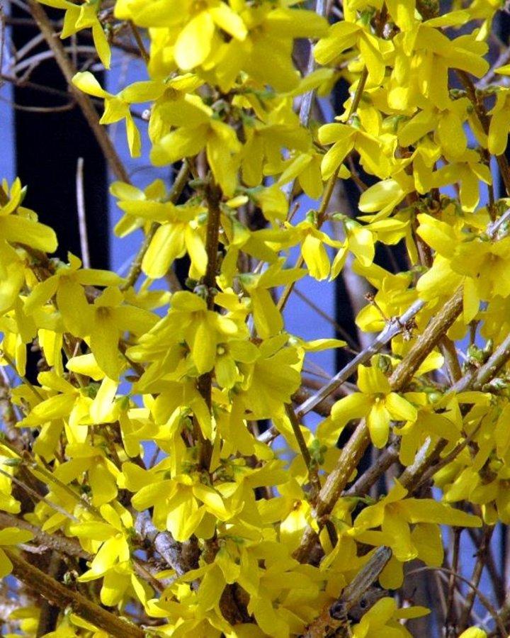 Forsythia intermedia | Chinees klokje