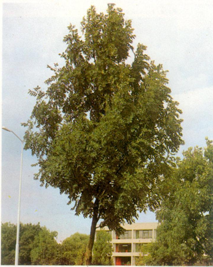 Fraxinus excelsior / Gewone es