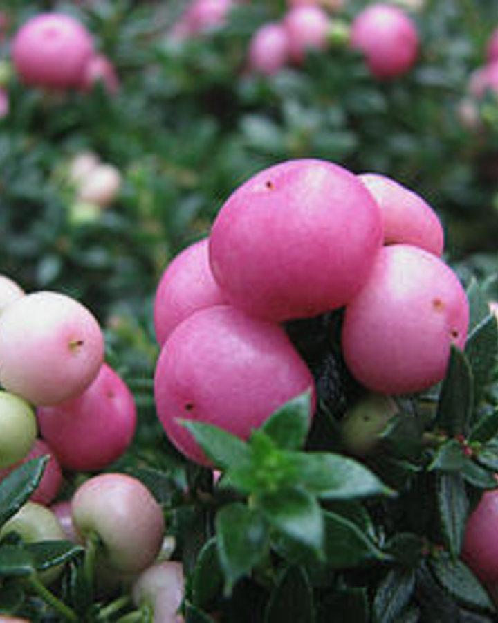 Gaultheria mucronata 'Roze'   Parelbes