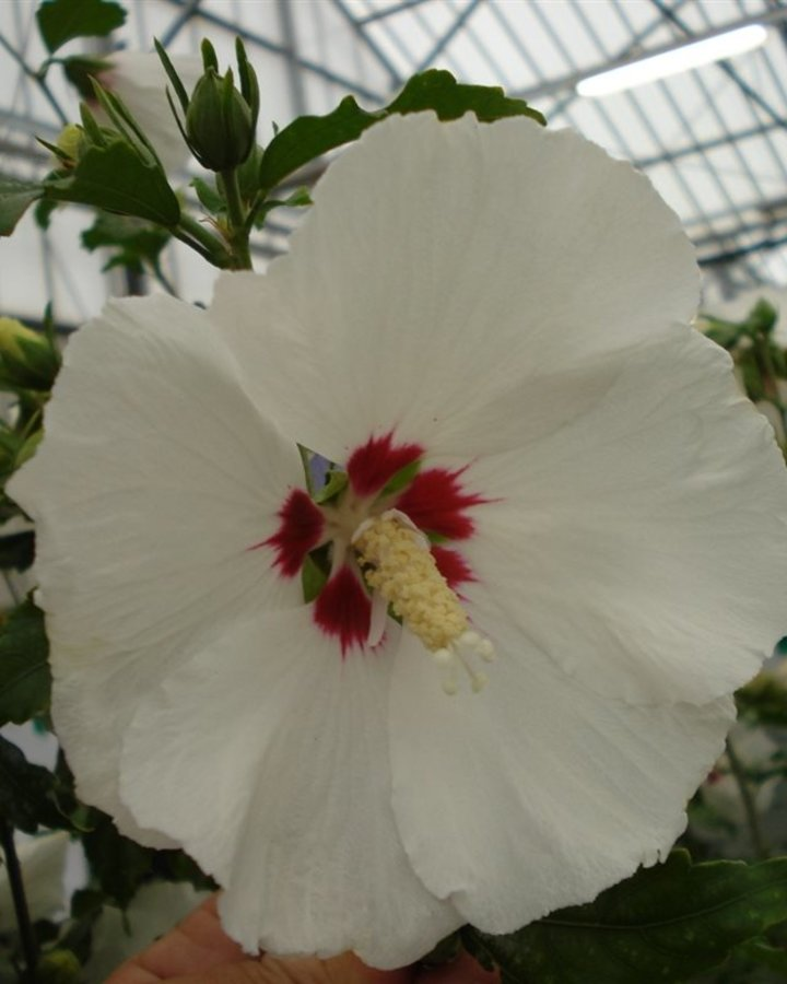 Hibiscus syr. 'Red Heart' | Chinese roos, Althaeastruik  | Heester