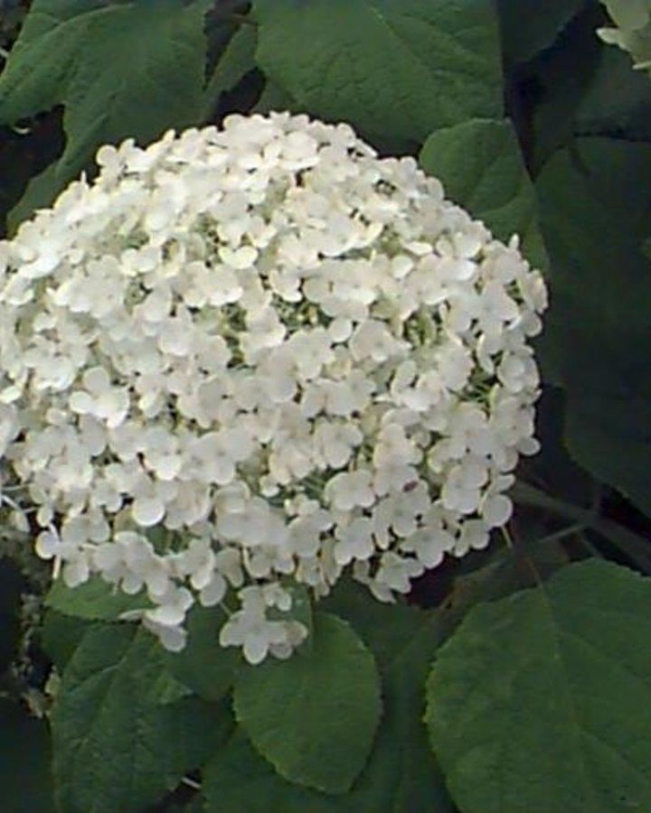 Hydrangea arbor.  'Annabelle' | Hortensia  | Heester