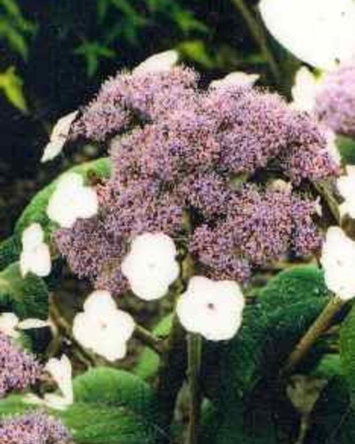 Hydrangea aspera sargentiana / Hortensia