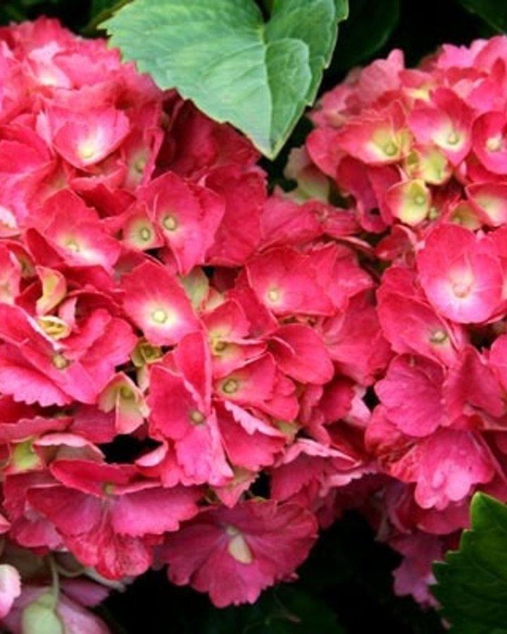 Hydrangea macr. 'Hamburg' / Hortensia