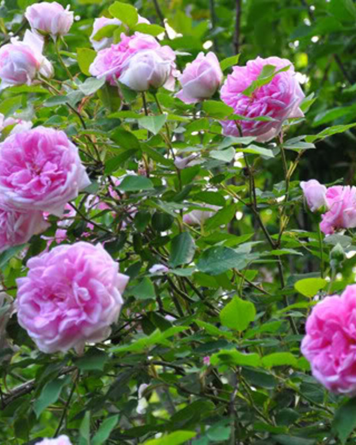 Rosa 'Blairii no2' | Roos  | Heester
