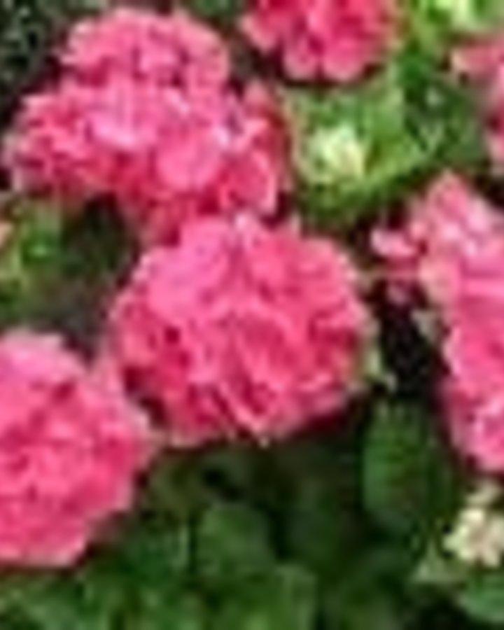 Hydrangea macr. 'Merv. Sanguine'   Hortensia    Heester