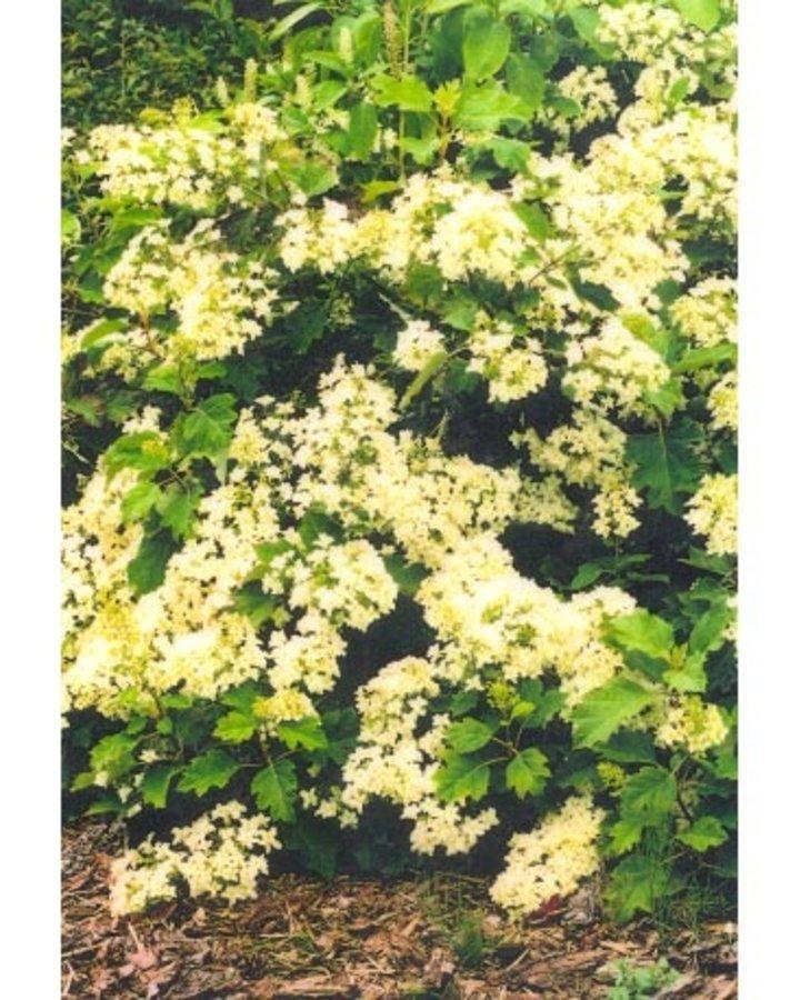 Hydrangea querc. 'Snowflake' / Hortensia