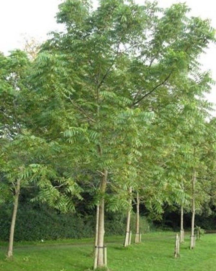 Juglans nigra | Notenboom | Wortelgoed