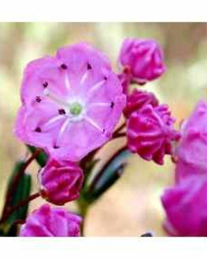 Kalmia polifolia / Lavendelheide