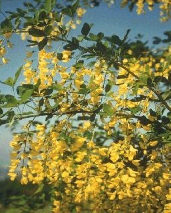 Laburnum anagyroides   Goudenregen