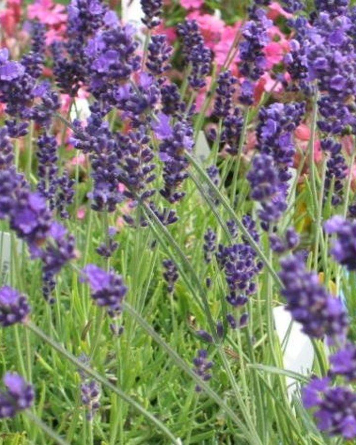 Lavandula ang. 'Hidcote' / Lavendel