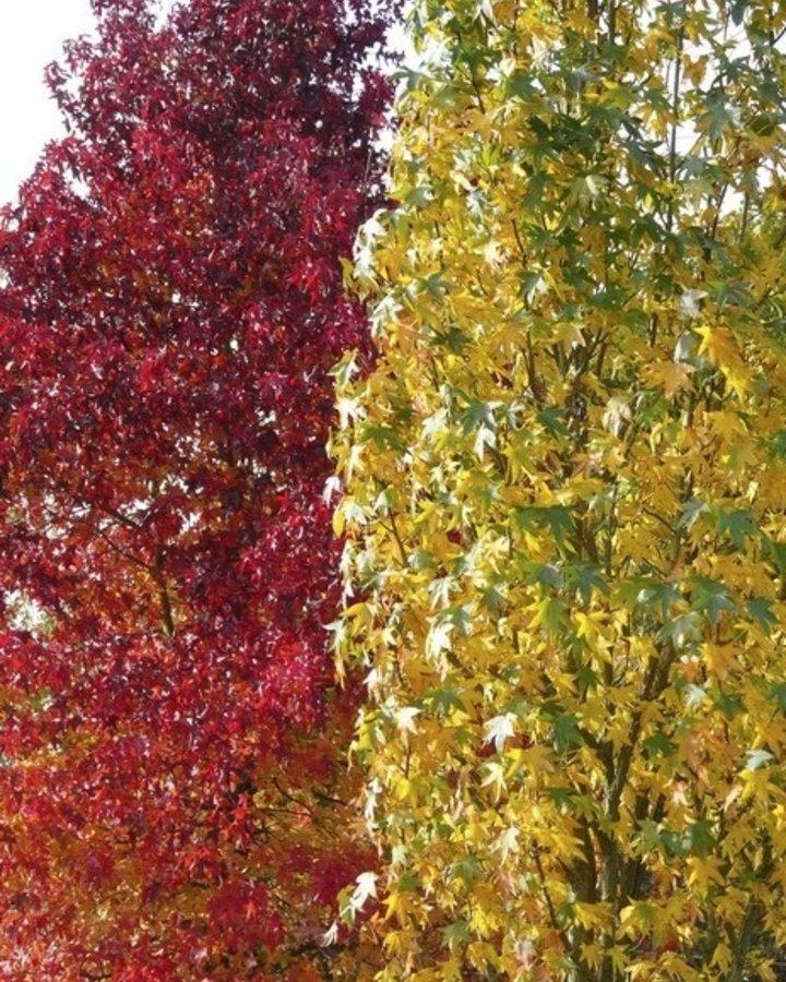 Liquidambar styr. 'Slender Silhouette | Amberboom  | Laanboom struikvorm