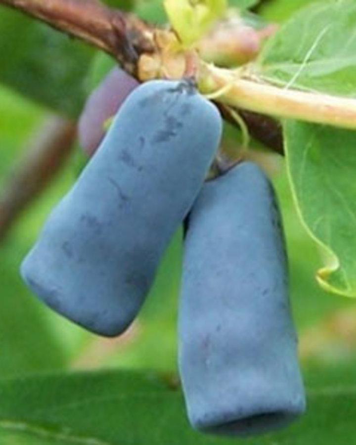 Lonicera caerulea 'Kamtschatica'   Honingbes