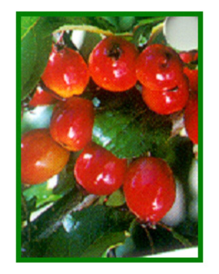 Malus 'Rudolph'   Sierappelboom    Sierboom