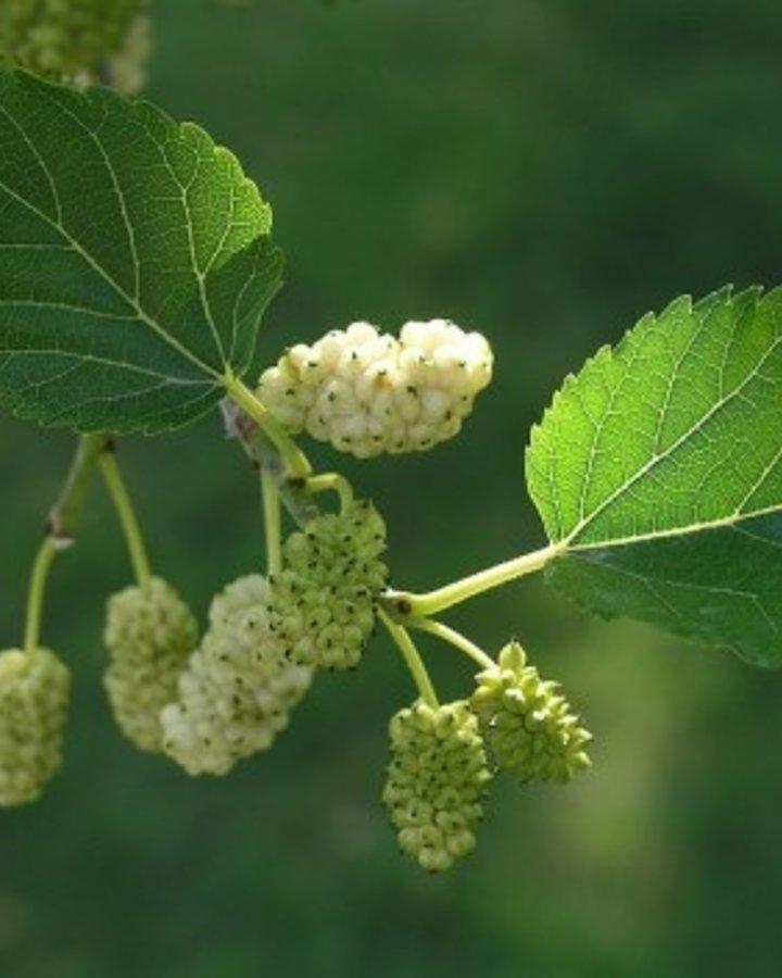 Morus alba 'White Berry' | witte moerbei | Wortelgoed