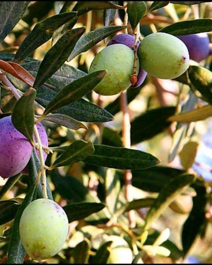 Olea europaea | Echte olijvenboom
