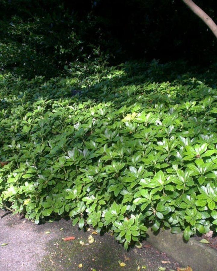 Pachysandra term. 'Green Carpet'   Dikkemanskruid