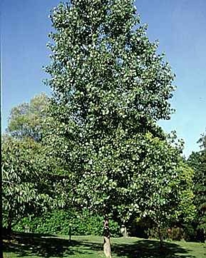 Populus can. 'Robusta' | Canadese populier