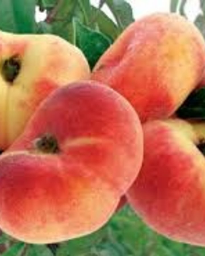 Prunus persica 'Saturne' | Platte perzik | Wortelgoed