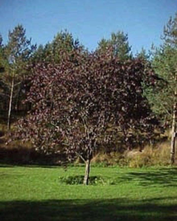 Prunus 'Trailblazer' / Sierpruim