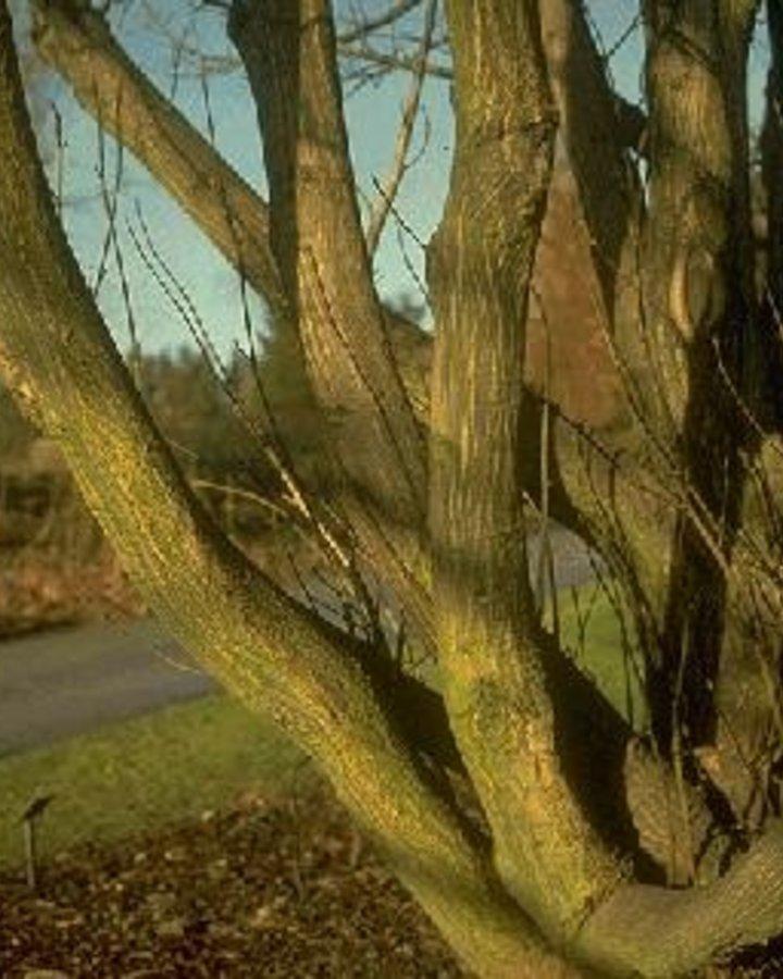 Pterocarya fraxinifolia / Vleugelnoot