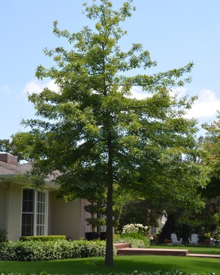 Quercus palustris   Moeraseik