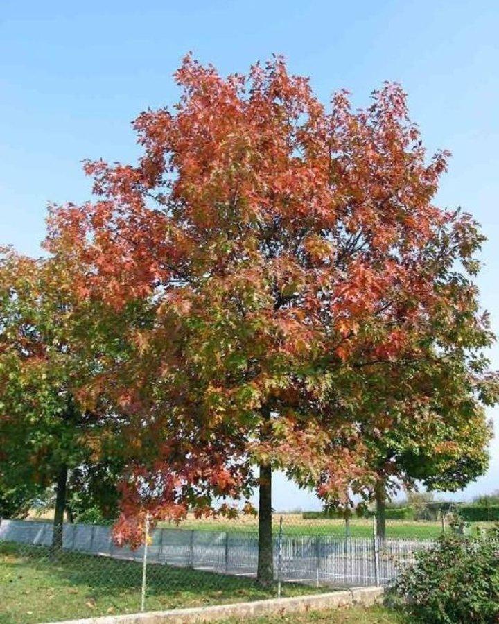 Quercus rubra / Amerikaanse eik