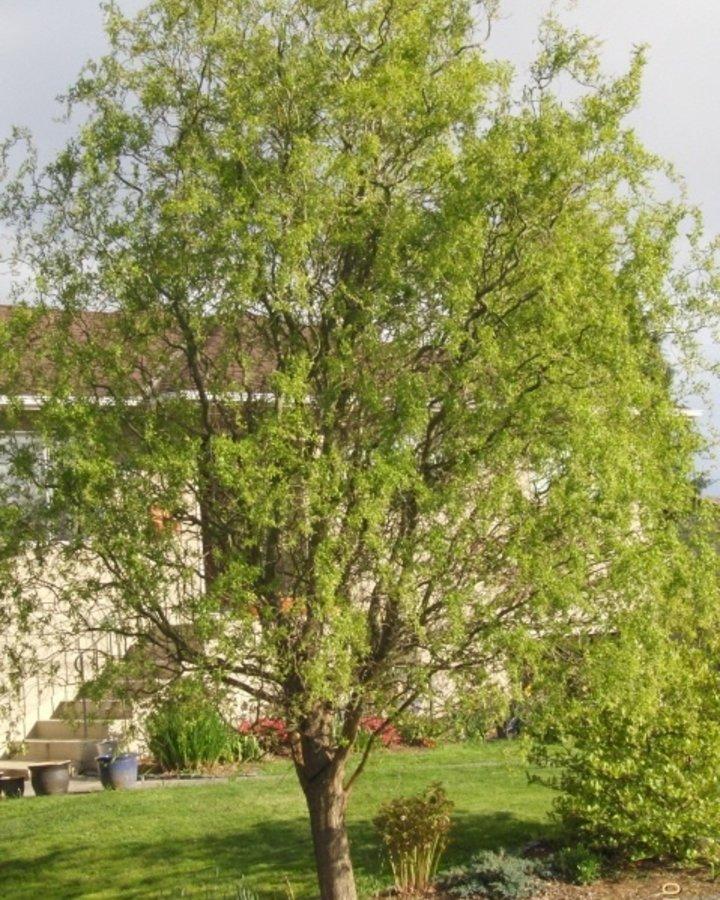 Salix babylonica 'Tortuosa'   Wilg