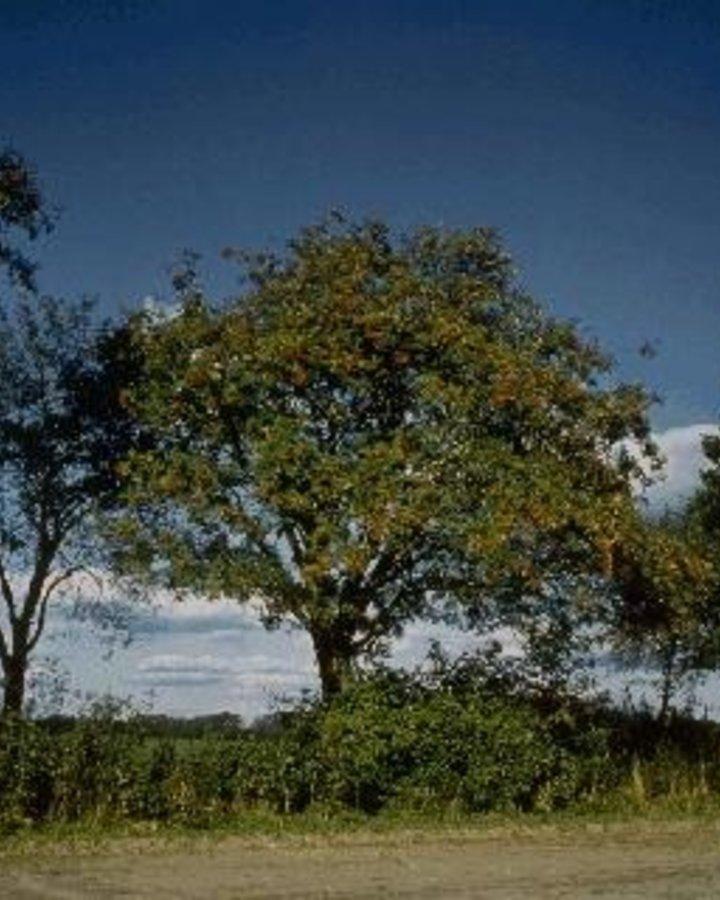 Sorbus aucuparia / Lijsterbes