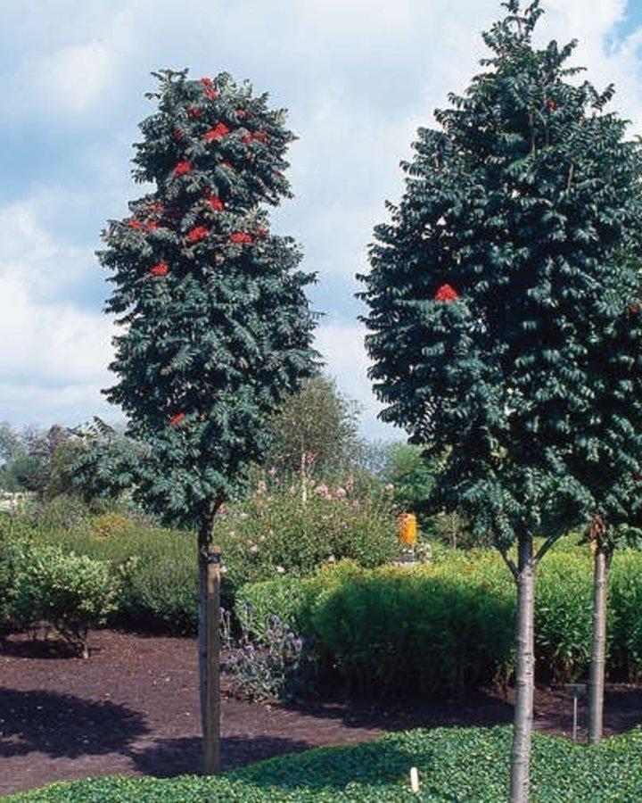 Sorbus auc. 'Sheerwater Seedling'