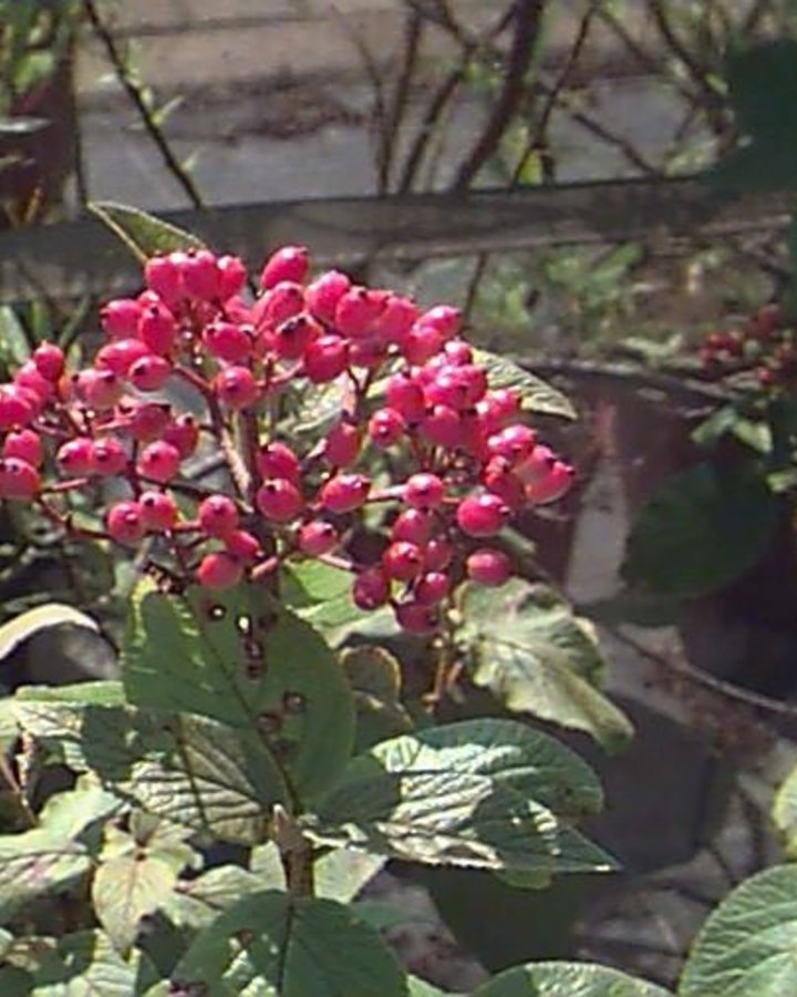 Viburnum lantana   Wollige sneeuwbal    Heester