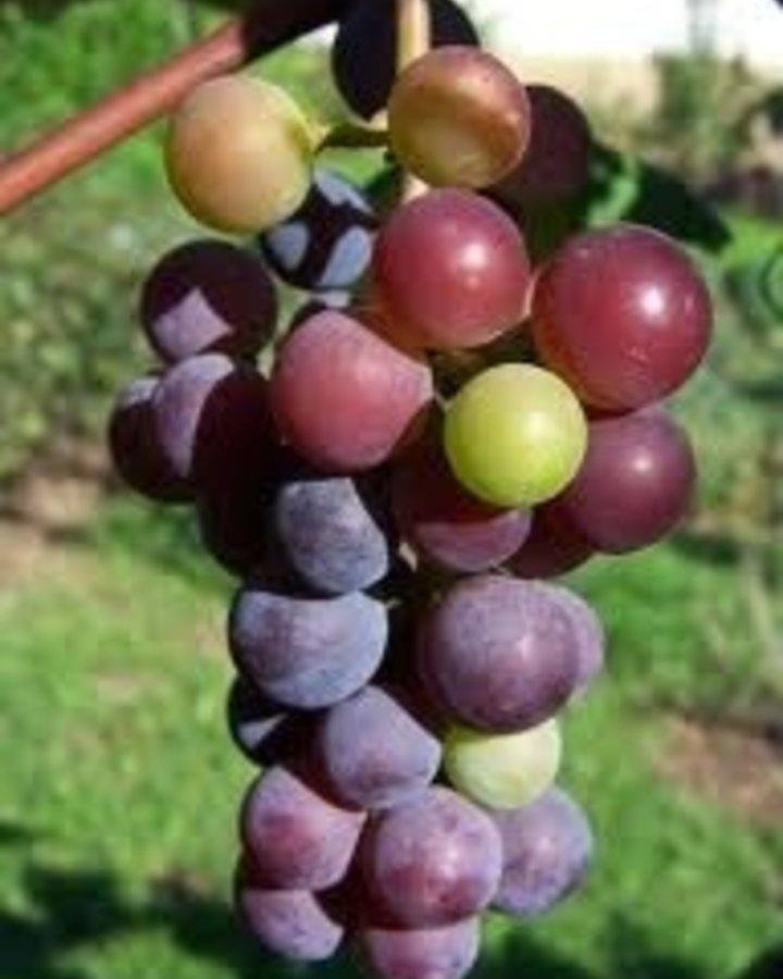 Vitis vinifera / Druif