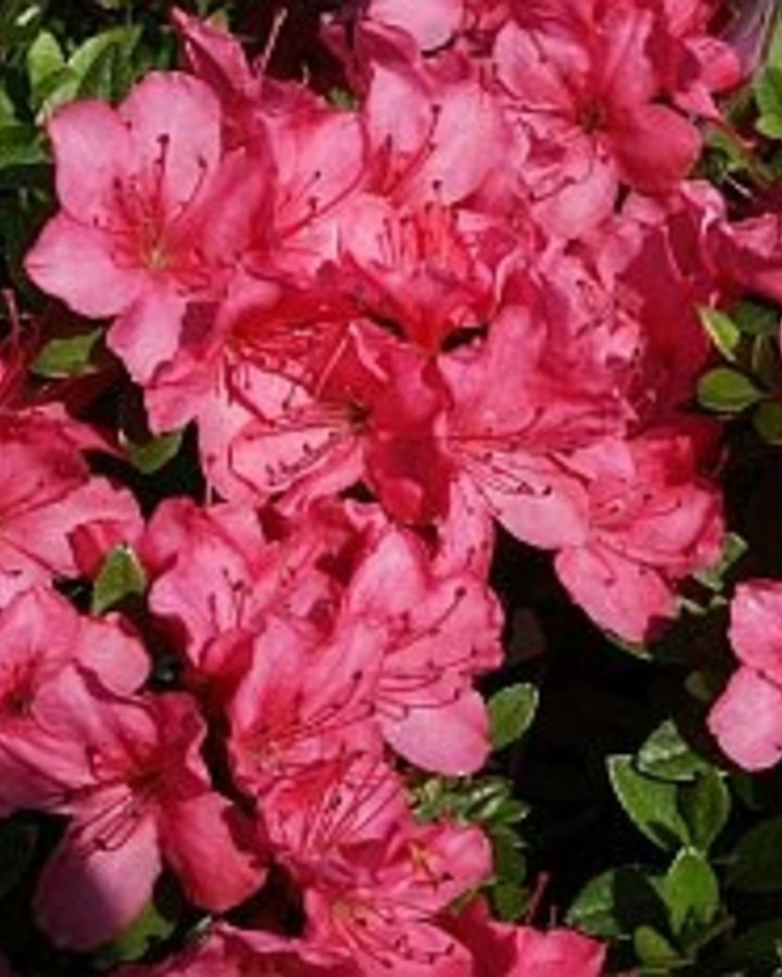 Rhododendron (AJ) 'Anne Frank'   Rododendron    Heester