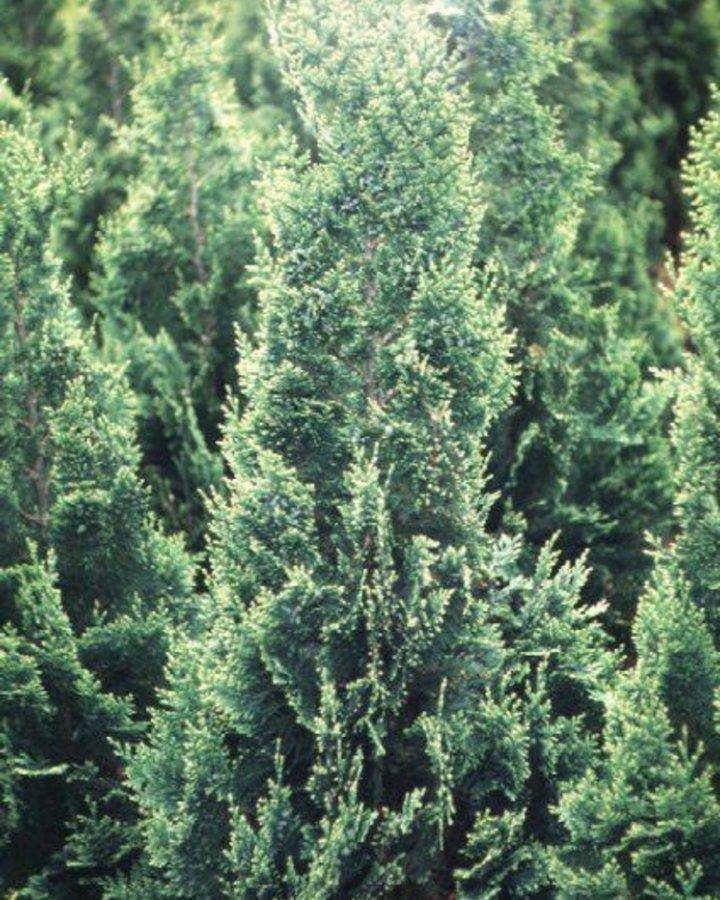 Chamaecyparis l. 'White Spot' | Dwergcyprus  | Conifeer