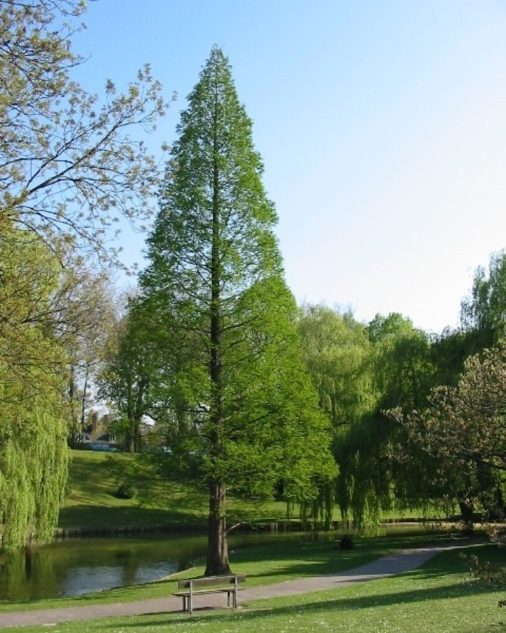 Metasequoia glyptostroboides   Watercipres