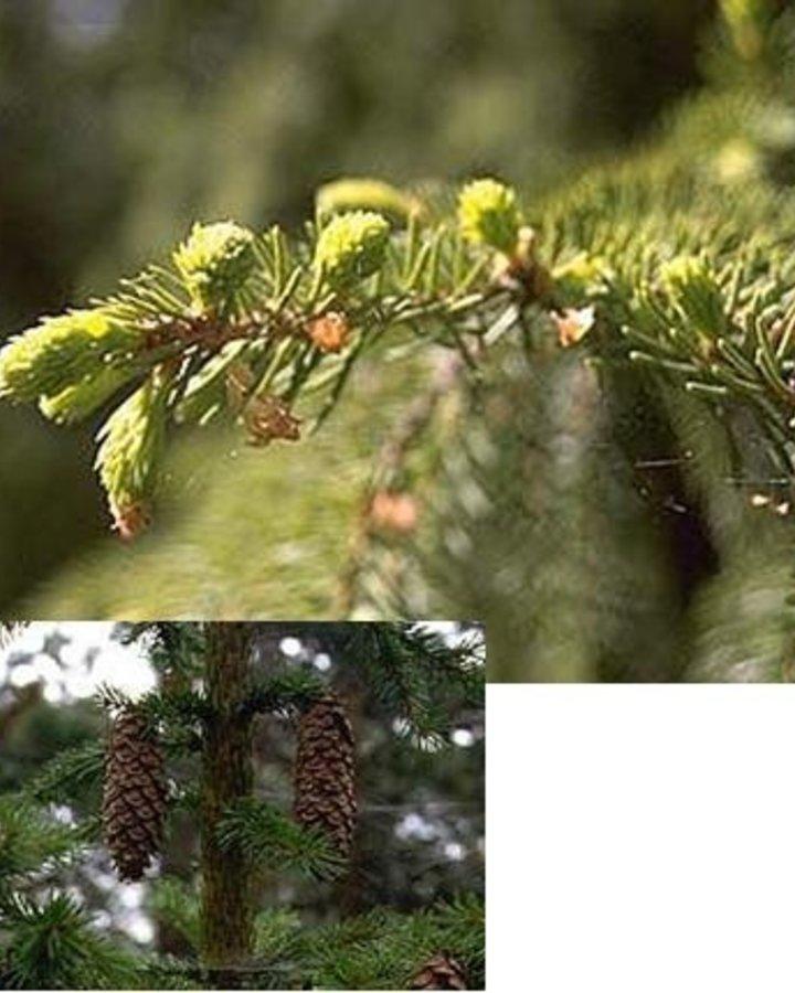 Picea abies | Fijnspar