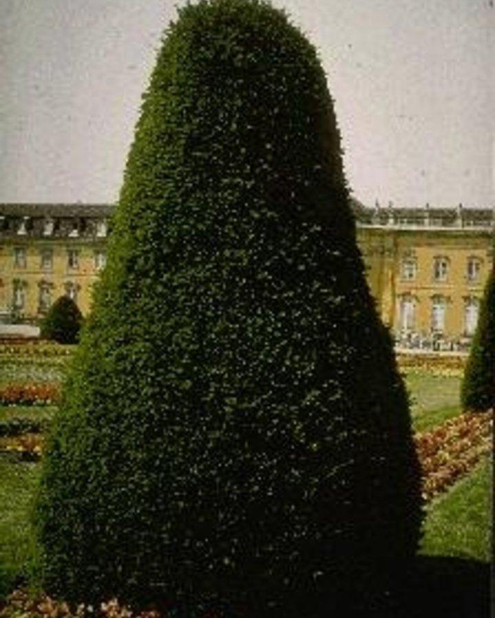 Taxus baccata | Venijnboom  | Conifeer