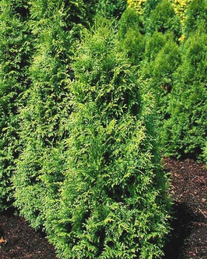 Thuja plicata 'Gelderland' / Levensboom