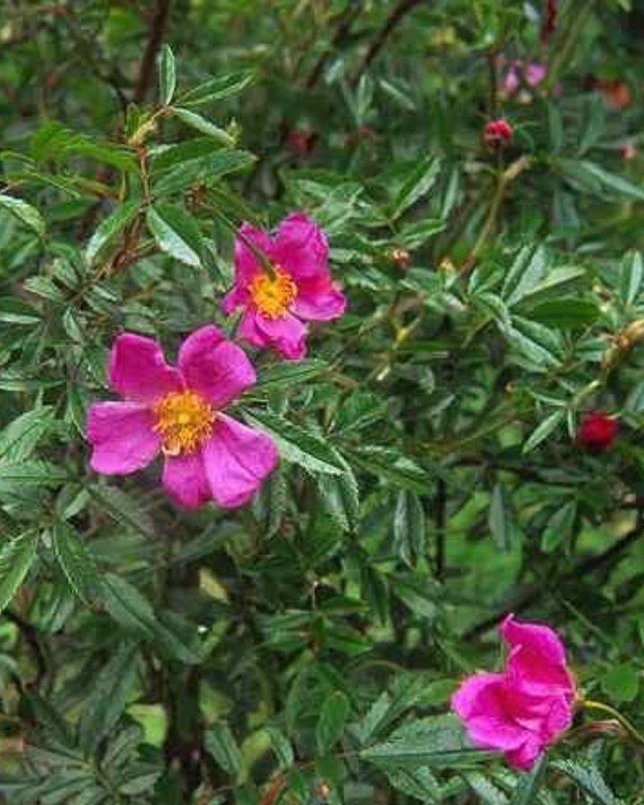 Rosa nitida | Botanische roos  | Heester