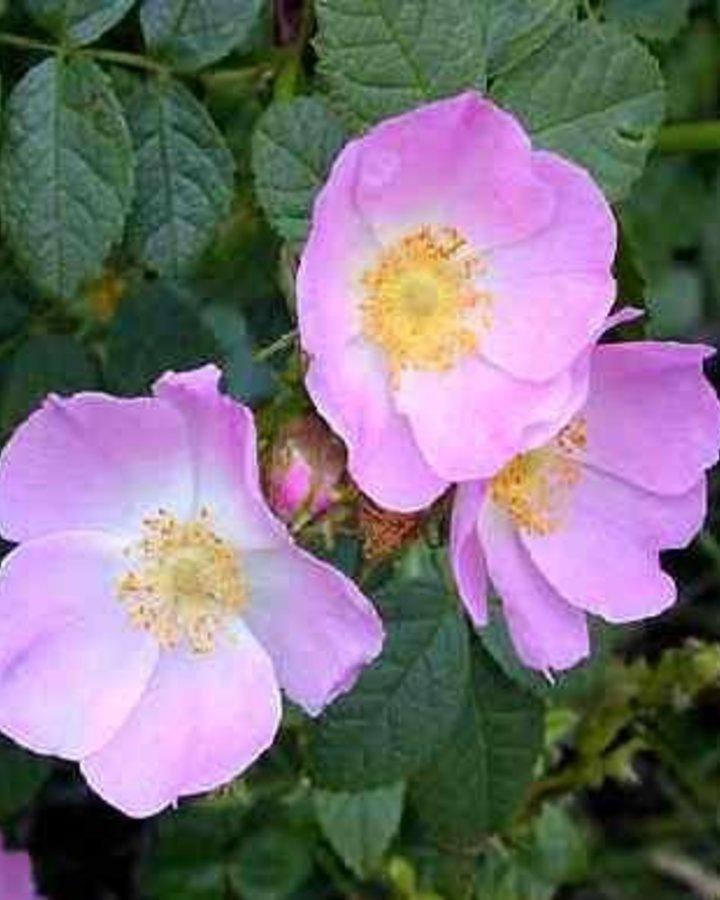 Rosa (o) rubiginosa / Egelantier