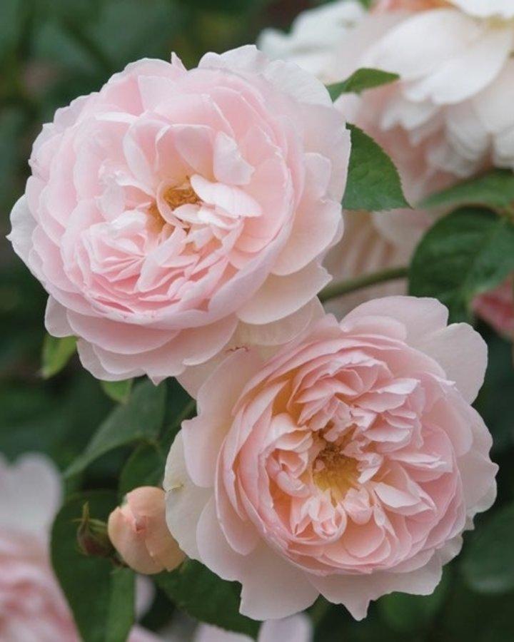 Rosa 'Gentle Hermione / engelse roos