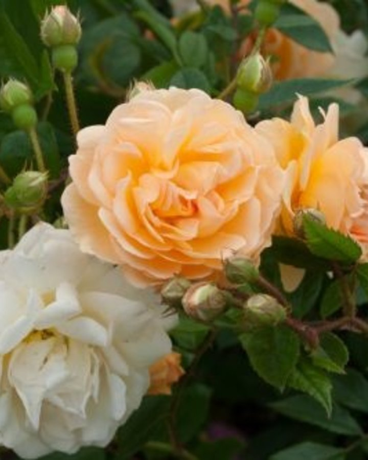 Rosa (H) 'Ghislaine de Feligonde' | Roos