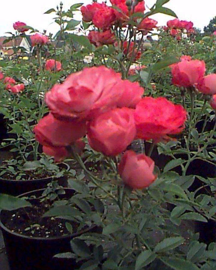 Rosa 'Morsdag' | Roos  | Heester