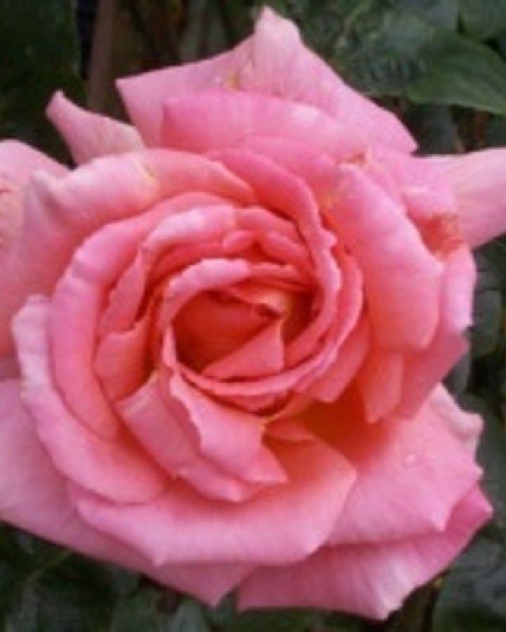 Rosa (K) 'Compassion' | Klimroos  | Heester
