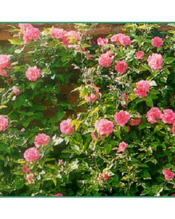 Rosa (K) 'Zephirine Drouhin'   Roos