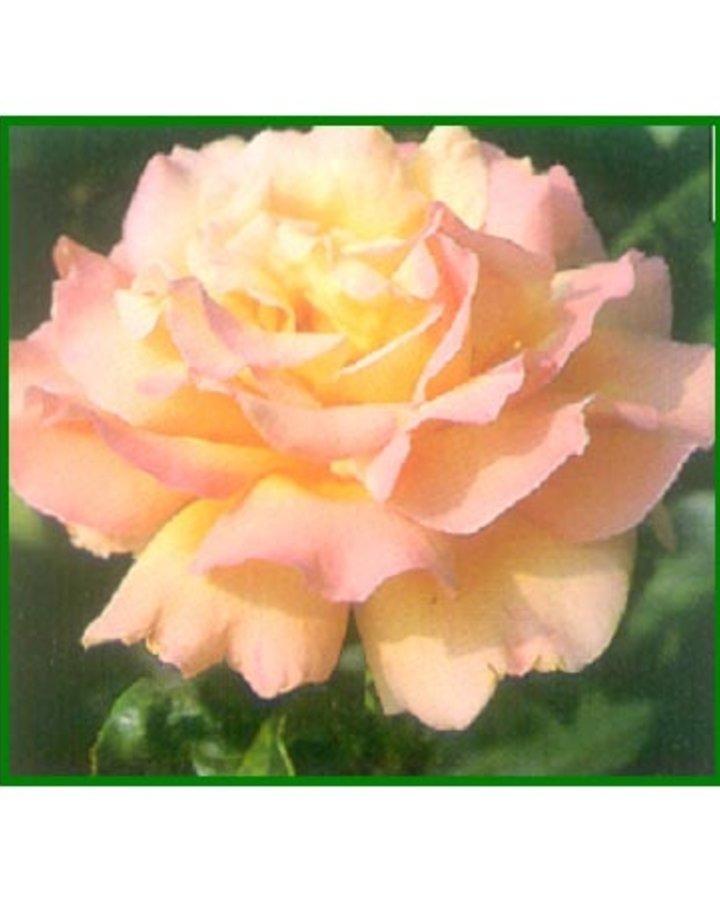 Rosa (T) 'Peace' / Hybridetheeroos