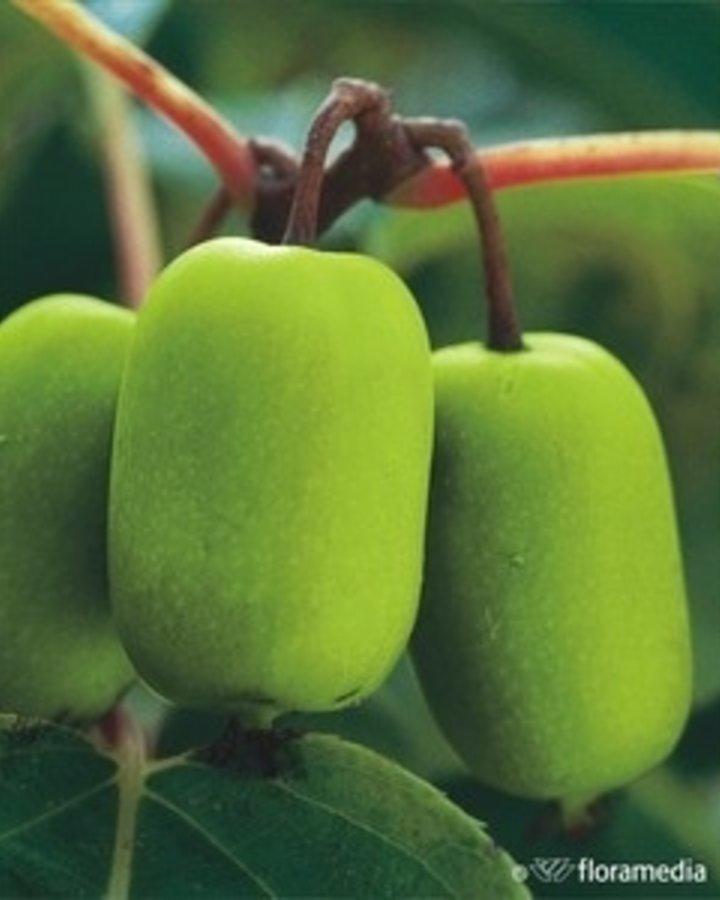 Actinidia arguta 'Jumbo'   kiwibes   Kleinfruit