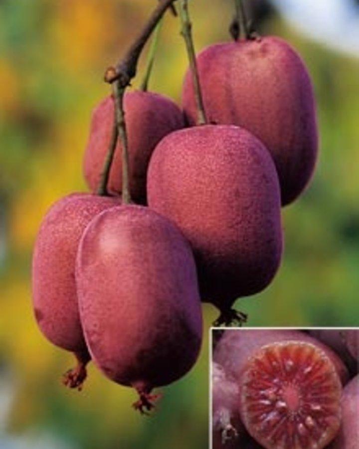Actinidia arguta 'Ken's Red' / Rode kiwibes