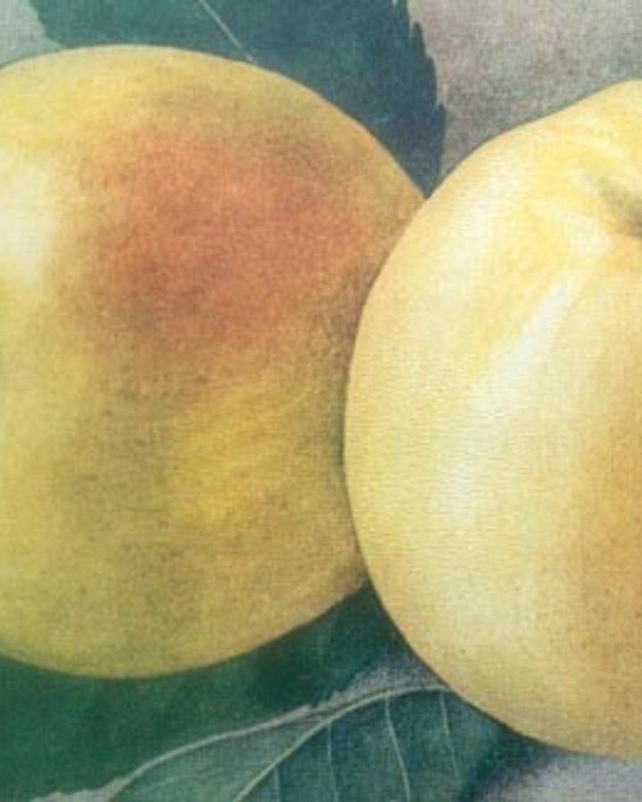 Malus d. 'Manks Codlin'   Oude appelboom   Wortelgoed